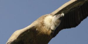 Vogelbeobachtung eines Gänsegeiers
