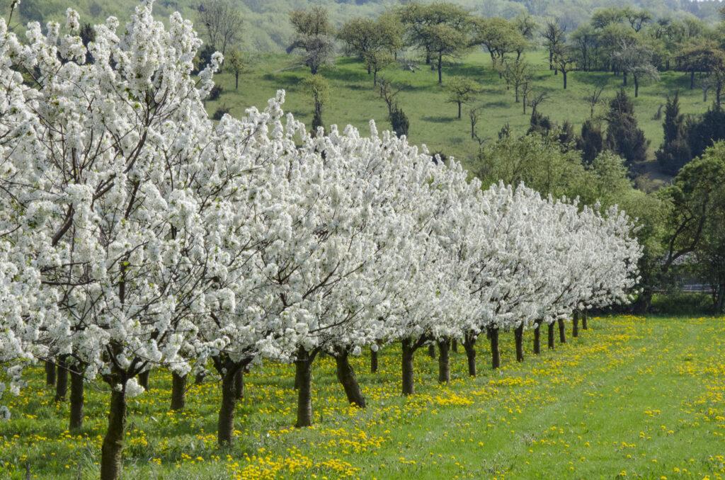 Kirschblüte in Ostheim